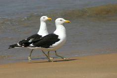 Foto gaivotão (Larus dominicanus) por Ivan Angelo | Wiki Aves - A Enciclopédia das Aves do Brasil