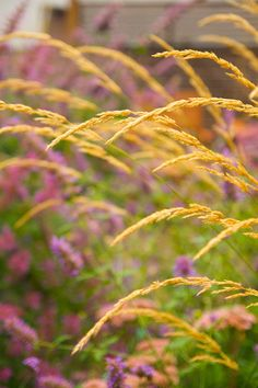 Calamagrostis 'Karl Foerster' with Agastache 'Blue Blazes' and Agastache 'Ava' in background - Autumn 2011