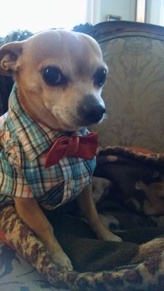 Our little guy was a Hipster for Halloween! Awwww what a cutie :) Chihuahua Puppies, Cute Puppies, Dogs And Puppies, Chihuahua Clothes, Pet Dogs, Dog Cat, Pets, Cute Baby Animals, Funny Animals