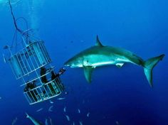Diving in a cage with great white shark. South Africa