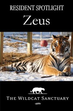 When a Texas facility was closing down and 400 animals needed placement, we were happy to welcome Zeus and 8 others to our Sanctuary. He is one of the most vocal tigers. You can read and see a lot more about this goofy tiger here: http://www.wildcatsanctuary.org/residents/big-cats/tigers/zeus/