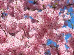 新宿御苑 鮮やかなピンクが春らしさを演出してくれます。 3/27の時点では、染井吉野はまだ1分咲きでした。