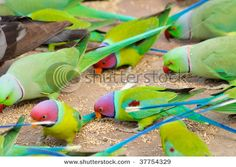 indian ringneck parakeet and plumheaded parakeets