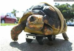 The Roller Turtle - http://www.weirdlife.com/the-roller-turtle/