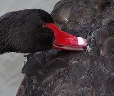 BLACK SWAN...series Black Swan, River, Photos, Animals, Image, Pictures, Animales, Animaux, Animal