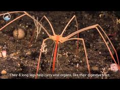 Gigantic sea spiders reported at the poles - Unexplained Mysteries