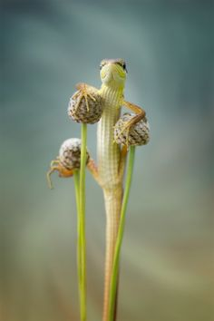 lizard by  Hendy Mp