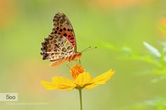 Indian Fritillary #3 by irtsgetd. Please Like http://fb.me/go4photos and Follow @go4fotos Thank You. :-)