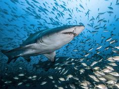 Ragged Tooth Sharks live in and around shipwrecks off the coast of North Carolina