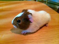 Newborn guinea pigs are pretty much heads with feet/ears attached.