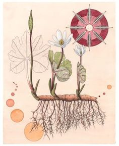 """Bloodroot as Plant Dye, (Sanguinaria canadensis) Bloodroot is a popular natural dye plant. The roots produce a yellow-orange dye and the stems produce orange-red dyes. Illustration: 14"""" x 16"""" 