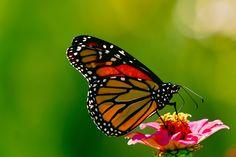 Sunday In My Garden :http://www.brucebarone.com/butterflies/sunday-in-my-garden/