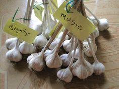 Planting garlic in the garden--great tips and pictures--on The Old Farmer's Almanac gardening blog.
