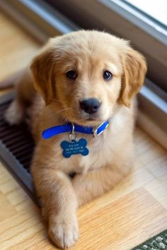 Cutest golden retriever ever