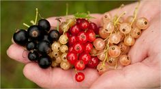 Black, white, and red currants.  Not to be confused with Zante currants, which are not currants at all, but raisins.