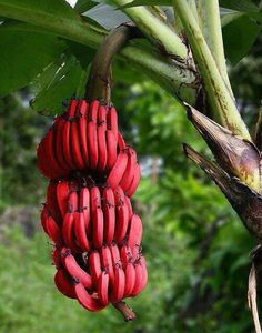 Red banana is one of the most popular fruit in the recent days. It is usually known with it's so small size. Andwhat is red banana? What are the benefits of red banana? Fruit And Veg, Fruits And Vegetables, Fresh Fruit, Red Banana Tree, Pink Banana, Banana Fruit, Banane Plantain, Banana Plants, Red Banana Plant