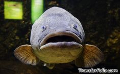 Name: big-mouth-fish. Shoal Of Fish, Creatures, Animals, Awesome, Animales, Animaux, Animal, Animais