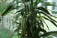 ☑︎ Dracena - Växten är sannolikt ofarlig