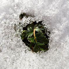 #leafes #foglia #life #snow #ice #winter #cold #nature #instanature #birth #instawinter #green #evergreen #fight #fightforlife #surprise #amazing #beauty #miracle #magic #novellaorchidea #novella #orchidea #raccontierotici #racconti #ebook