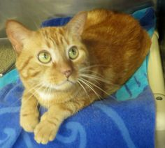 Meet C-58293 Red Cicuska a Petfinder adoptable Domestic Short Hair Cat   Mount Holly, NJ   Red Cicuska is a charming and friendly 2-year old tabby; his soft fur coat is a gorgeous orange...