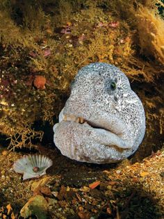 WOLF EELS   BRITISH COLUMBIA It's like an apparition flowing back and forth out of the cold water. What materializes looks like the reincarnated ghost of an old man: white and gray with a face straight out of Jim Henson's The Muppet Show. It's a wolf eel, partially hidden by a sunken bathtub on the wreck of the Themis.