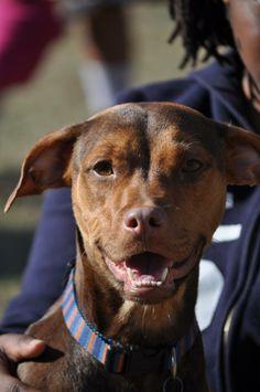 Meet Atari a Petfinder adoptable Boxer Dog | Alpharetta, GA | Hello, my name is Atari. 5 28 14.  I am a little 35lb min pin/boxer mix and am the proud mama of 7 babies. ...