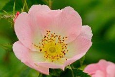 'Blüte einer Heckenrose' von toeffelshop bei artflakes.com als Poster oder Kunstdruck $17.33