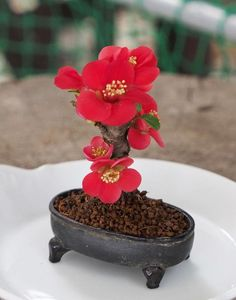 Bonsai tree pots are available in a huge array of sizes, shapes and colors but making sure you select the correct pot for your Bonsai tree is important. Succulent Bonsai, Terrarium Plants, Bonsai Plants, Bonsai Garden, Succulents, Bonsai Flowers, Flowering Bonsai Tree, Bonsai Tree Types, Mini Bonsai
