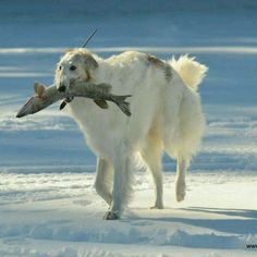 Borzoi Playing Fetch with Ice-Fisherman's Frozen Catch (or, perhaps, purloining it. Beautiful Dogs, Animals Beautiful, Cute Animals, Big Dogs, Dogs And Puppies, Doggies, Russian Wolfhound, Afghan Hound, Dog Cat