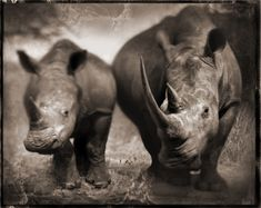 Rhinos by Nick Brandt. This is an image we enjoy. Hope you enjoy it too - Little Hawk Trading, a favorite eBay store - Clothing & Shoes for LESS - http://stores.ebay.com/Little-Hawk-Trading
