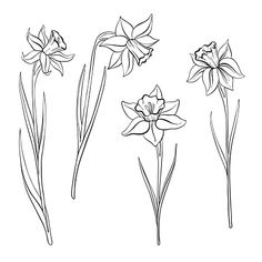vector drawing flowers of narcissus, daffodils, isolated floral. - - - vector drawing flowers of narcissus, daffodils, isolated floral… – – # - Easy Flower Drawings, Easy Disney Drawings, Pencil Drawings Of Flowers, Colorful Drawings, Cute Drawings, Drawing Flowers, Tattoo Drawings, Carnation Drawing, Sunflower Drawing