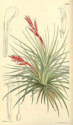 Tillandsia tenuifolia - botanical drawings