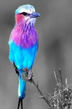 blue.purple bird