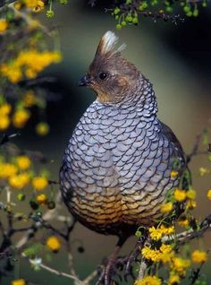 Texas blue scale quail - This little guy might make a good pet...