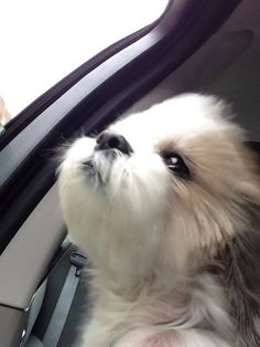 Shih Tzu car ride
