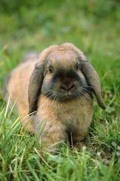 Lop Eared Bunny!