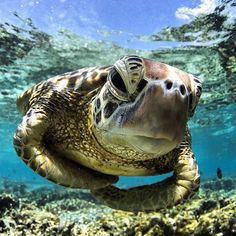 "whispsofinvisibleme: "" Regram from Green sea turtle. So beautiful … "" Sea Turtle Art, Turtle Love, Sea Turtles, Baby Animals, Cute Animals, Ocean Creatures, Reptiles And Amphibians, Tortoises, Marine Life"