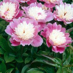 Kiinanpioni Bowl of Beauty - Viherpeukalot