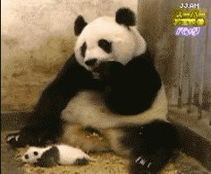 Infamous Baby Panda Sneeze!  asfhoetsdlkgl;