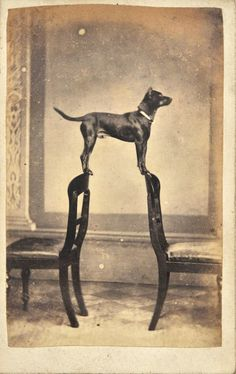 Portrait of Clyde the dog. 1860  [::SemAp FB || SemAp G+::]