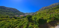 Weinberg auf der Insel Hvar in Pitve Dalmatia Croatia, River, Mountains, Videos, Nature, Outdoor, Hvar Croatia, Vineyard, Island