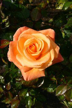 'Mama Mia'   Hybrid Tea Rose. Gareth Fyers, 2006   Flickr - © Angelina Moser