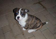 my dog Corgi, Animals, Corgis, Animales, Animaux, Animal, Animais