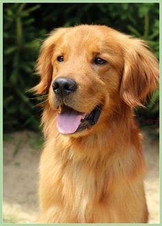 Golden retriever male keegan