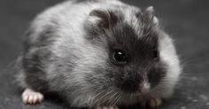Just Pinned to Hamsters: Chomik dżungarski-odmiana MERLE http://ift.tt/2xPMhlD