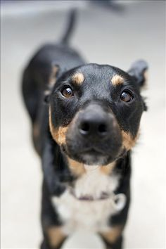Allegra - Kelpie X Jack Russell terrier I A beauty indeed... #fortheloveofdog! #pets #doglovers