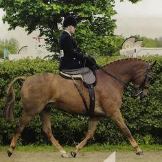 #top #groom @joeyjack85 epitomised #elegance going #sideways on #mr&mrs Jerram's #kings #court to take the #HOYS #ladies #sidesaddle at #Devon #County back in the #spring #chestnut #hunter #showing