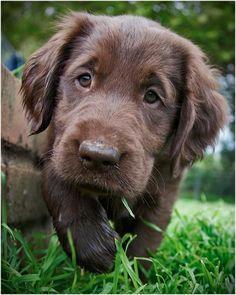 Flat-Coated Retriever Puppy: Oh, puppy! Don't look so sad- we all get muddy paws sometimes!