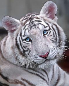 Blue-eyed white tiger
