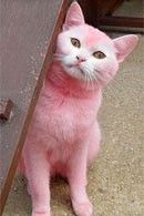 strawberry kitty! owner dyed cat to match her hair